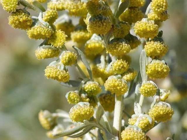 Какие травы помогут от кашля детям и взрослым: травяные сборы, отвары, сиропы и таблетки