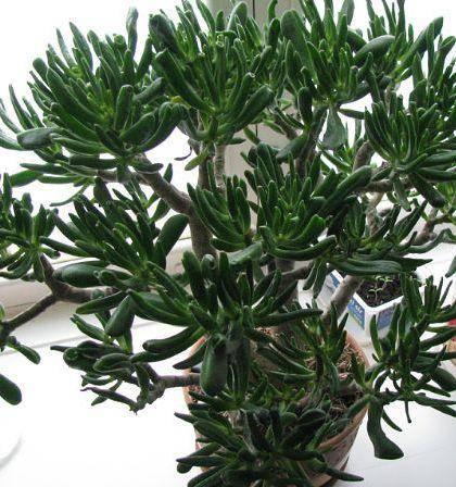Толстянка — виды (фото) и названия, описание разновидностей денежного дерева, толстянка: яйцевидная, серебристая и портулаковая