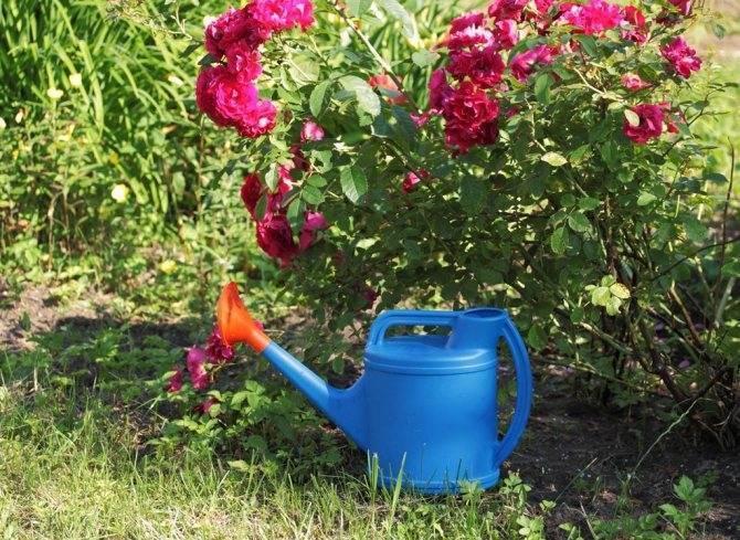 Правильный уход за розами осенью и подготовка к зиме