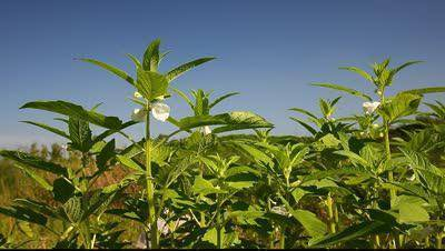 Как и где растет кунжут — можно ли вырастить сезам на дачном участке