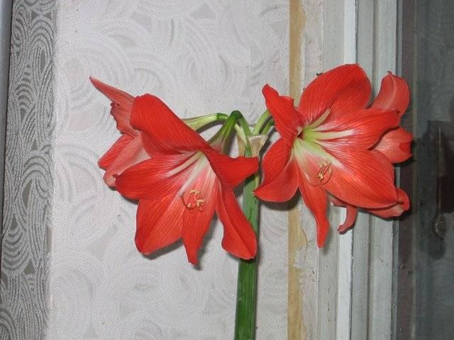 Комнатные лилии: особенности, виды и выращивание
