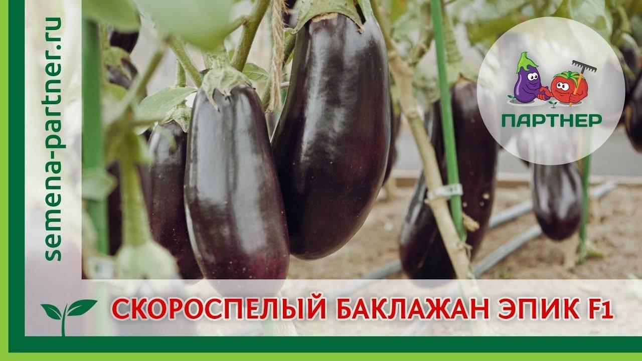Баклажан клоринда f1: описание сорта, отзывы, фото
