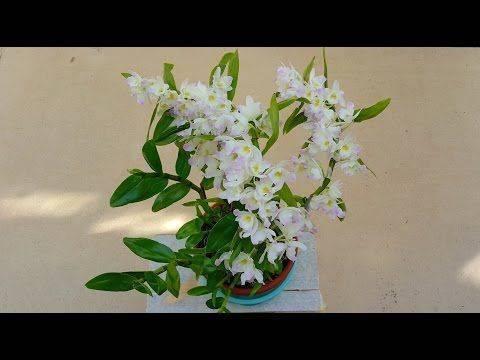Цветок дендробиум: описание, уход в домашних условиях, размножение, фото