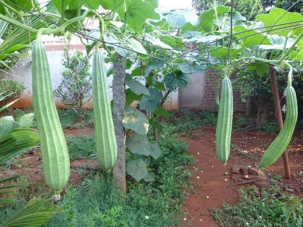 Люфа— растущая мочалка. выращивание, применение