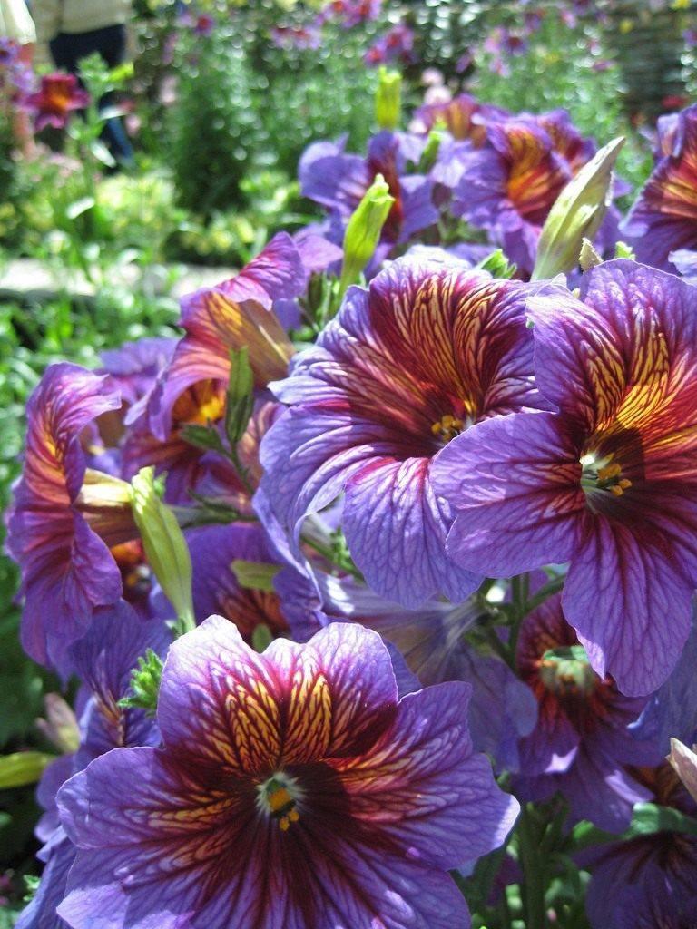 Сальпиглоссис выращивание из семян фото и размножение