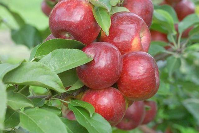 Яблоня заветное описание сорта фото отзывы - скороспел