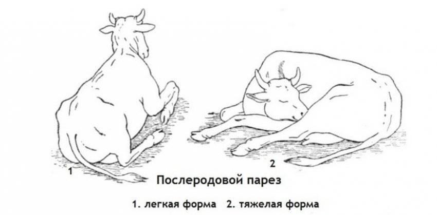 Парез у коровы после отела — симптомы, лечение и профилактика
