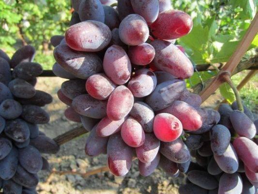 Виноград «Байконур»: описание сорта, отзывы + фото и видео