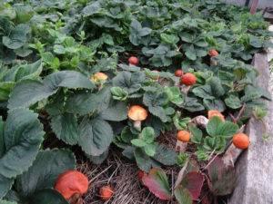 Рекомендации, как вырастить грибы на садовом участке