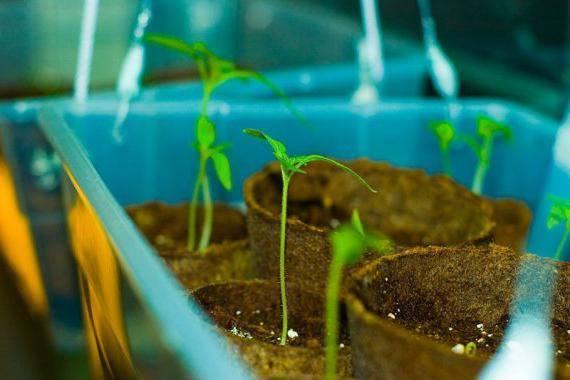 Сколько дней всходят кабачки: прорастание семян после посева