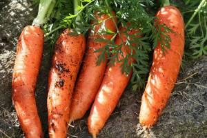 Как вырастить крупную морковь на огороде, чтобы была сладкой и сочной: как правильно сажать, чтобы получить хороший урожай, какую землю любит
