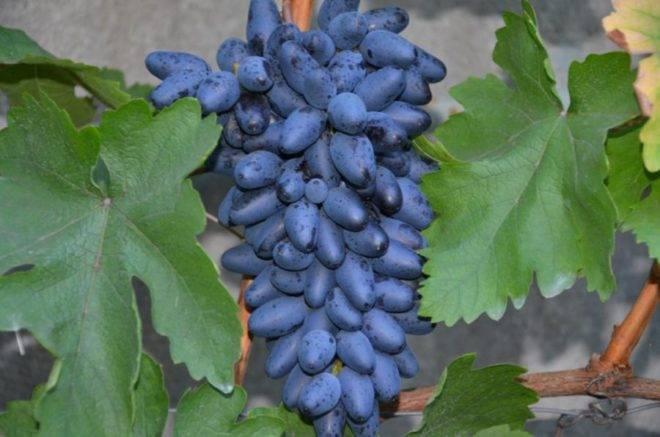 Виноград одесский сувенир: что нужно знать о нем, описание сорта, отзывы