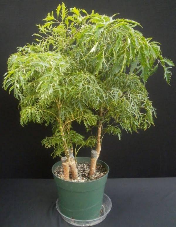 Полисциас (polyscias) – комнатный цветок