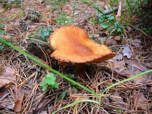 Рядовка желто-красная, красный или сосновый опенок (tricholomopsis rutilans): фото, описание и как готовить гриб