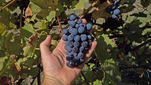 Как обрезать виноград осенью изабелла. формирование старой лозы: тонкости и премудрости | зелёный сад