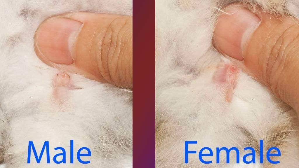 Советы, как определить пол декоративного кролика. отличие самца от самки - твой питомец