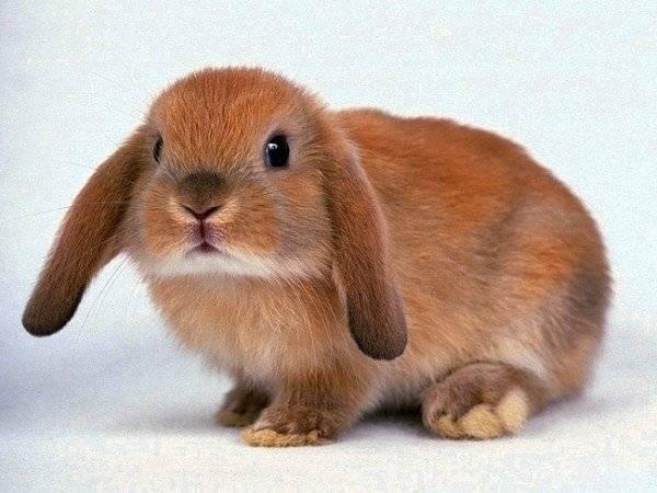 Что делать, чтобы приучить к лотку домашнего кролика. способы и советы