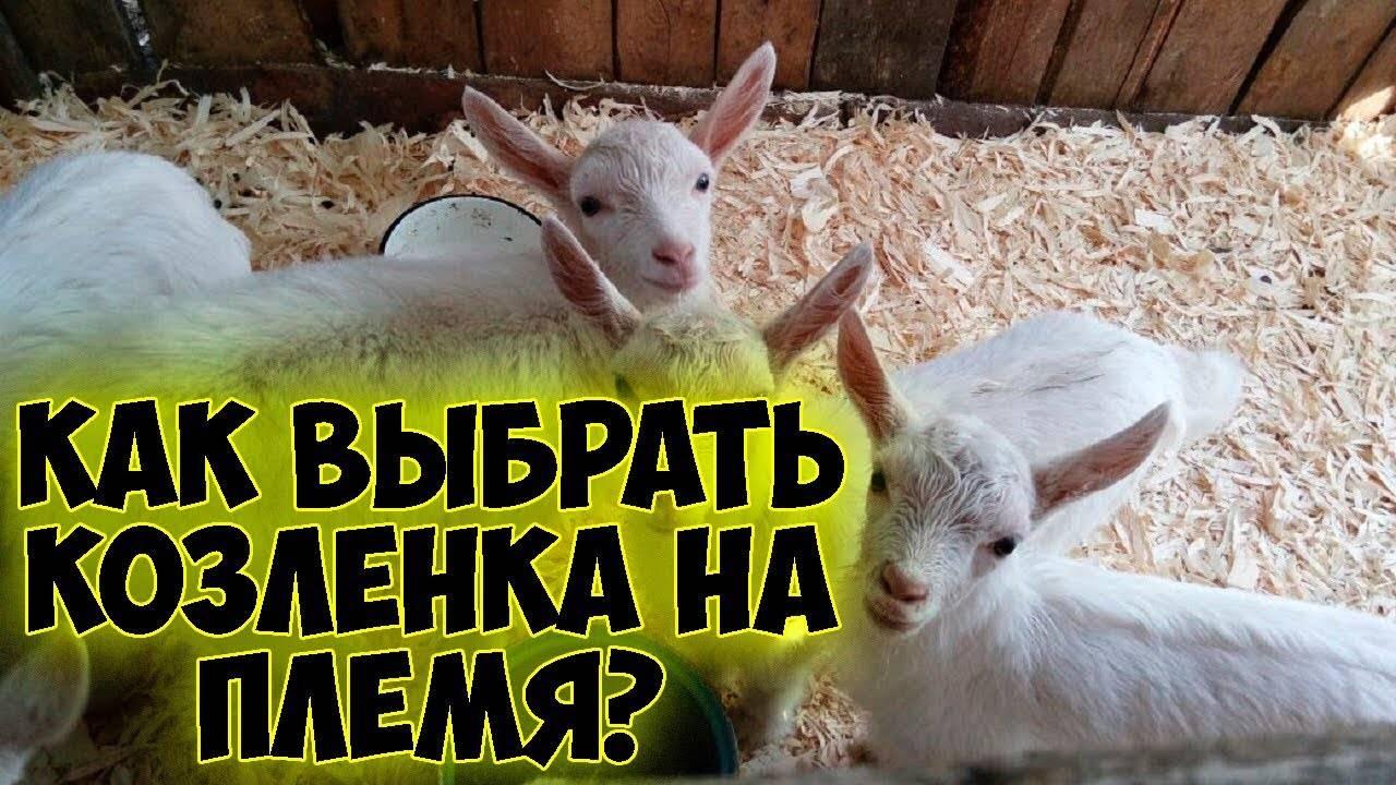 Как назвать козу девочку или козленка - имена и клички 2021