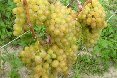 Виноград ванюша - мир винограда - сайт для виноградарей и виноделов