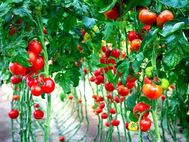 Как правильно подвязывать помидоры в теплице и открытом грунте