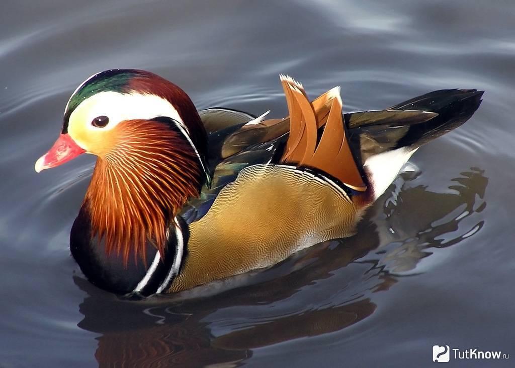 Утка — характерные черты, птица в хозяйстве, гастрономическая ценность + 92 фото