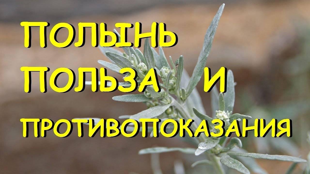 Полынь горькая. лечебные свойства -топ-12 и противопоказания