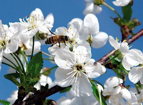 """Черешня """"крупноплодная"""": описание и нюансы выращивания сорта"""