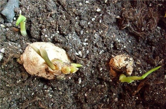 Как вырастить имбирь на даче в открытом грунте — распишем суть