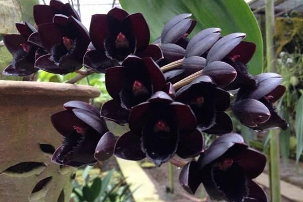 Виды и сорта орхидеи фаленопсис