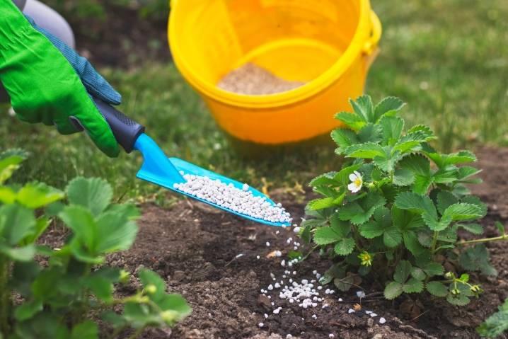 Чем подкормить клубнику осенью - какими удобрениями, виды и инструкция