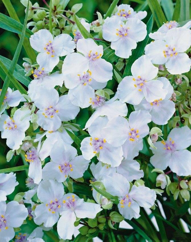 Особенности выращивания и размножения традесканции садовой: описание сорта