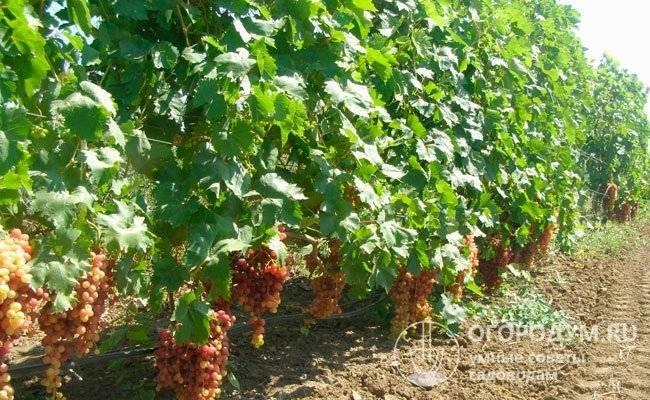 Сорт винограда преображение: происхождение, описание, особенности посадки и правила ухода