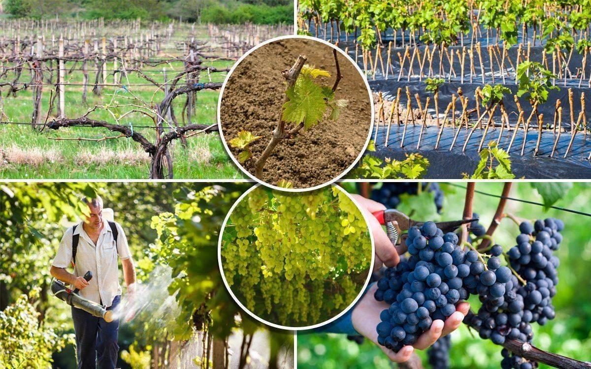 Весенние работы с виноградом: что нужно делать после зимы, советы для начинающих