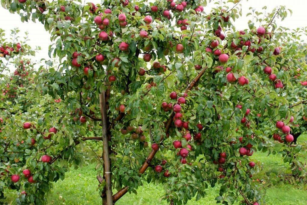 Сорта яблонь для подмосковья: рейтинг самых лучших