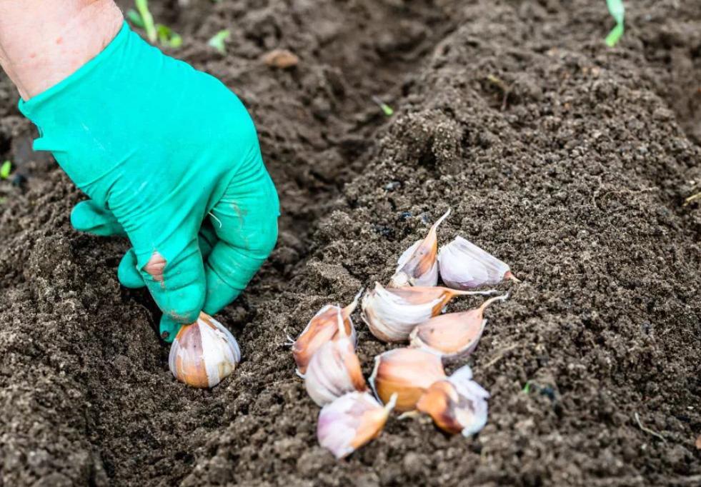 Правила посадки озимого чеснока для отличного урожая: когда, куда, как? на supersadovnik.ru
