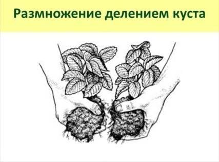 Как правильно размножать клубнику усами осенью и выбрать время для посадки