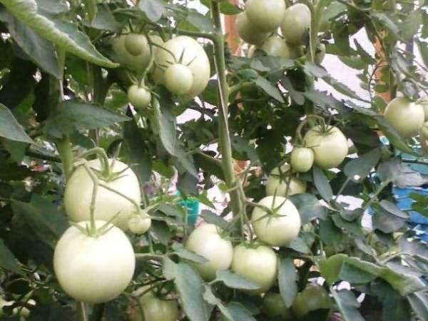 Подкормка томатов золой: преимущества и недостатки удобрения, рекомендации