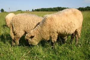 Разведение овец и баранов в домашних условиях: рекомендации для начинающих