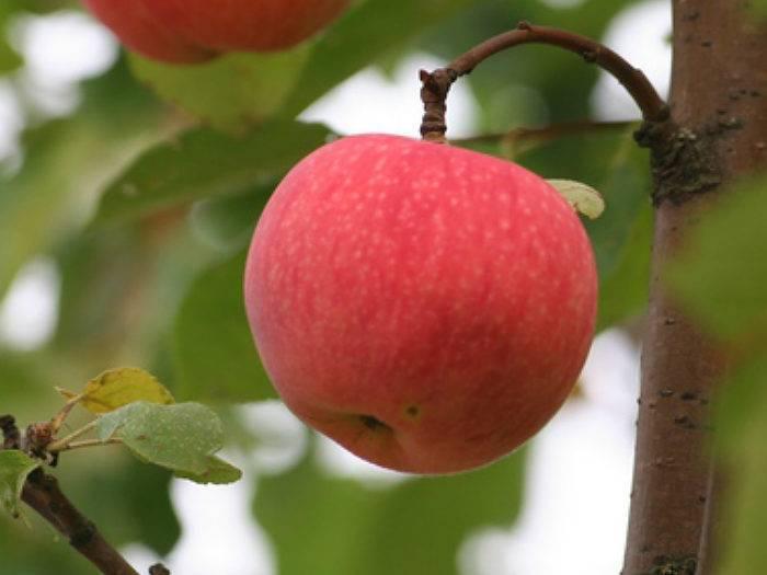 Описание сорта яблок мельба