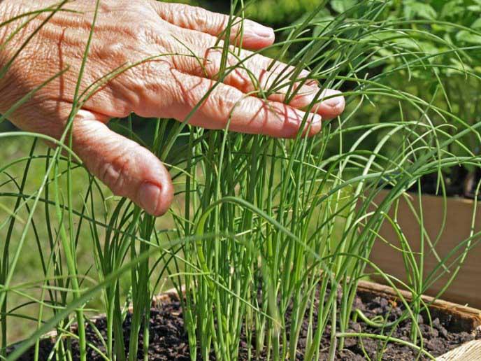 Лук-порей: посадка и уход в открытом грунте, посев на рассаду, фото