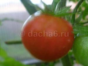 Томат агата - раннеспелый низкорослый сорт