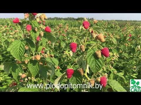 Малина атлант: описание сорта, фото, отзывы садоводов, урожайность, посадка и уход