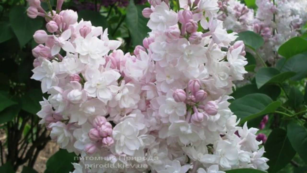 Сирень обыкновенная красавица москвы (syringa vulgaris krasawica moskwy)