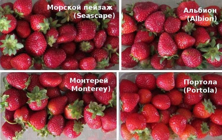 Клубника монтерей: описание сорта, посадка и уход, способы размножения