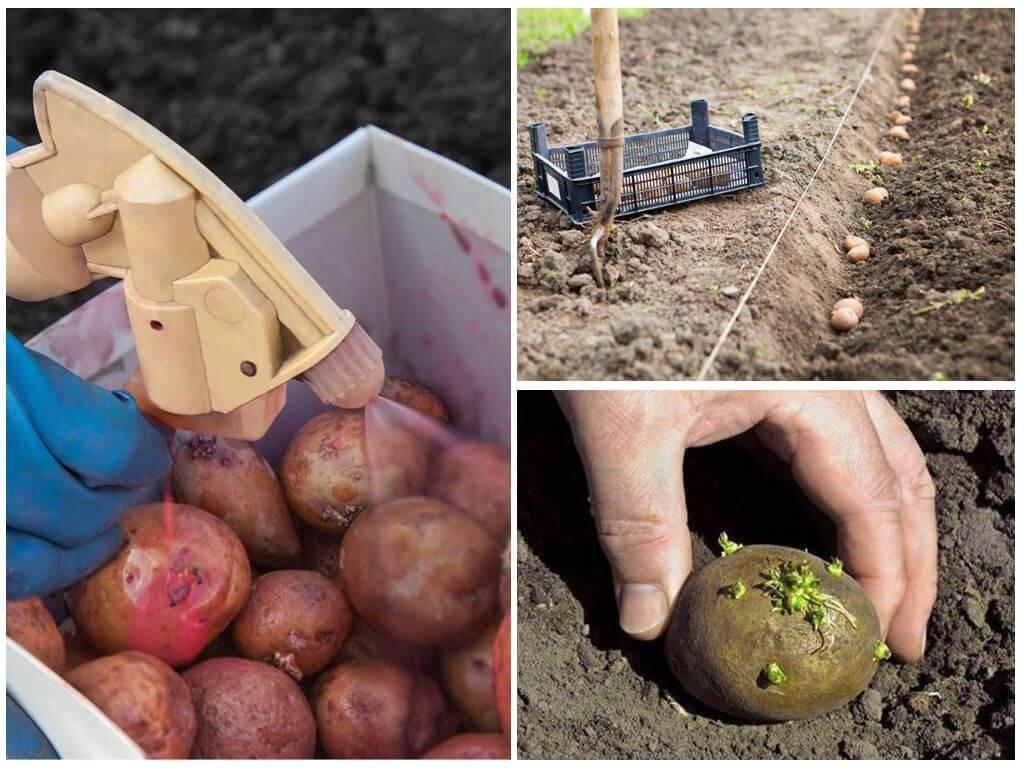 Обработка картофеля перед посадкой от колорадского жука: порядок и особенности