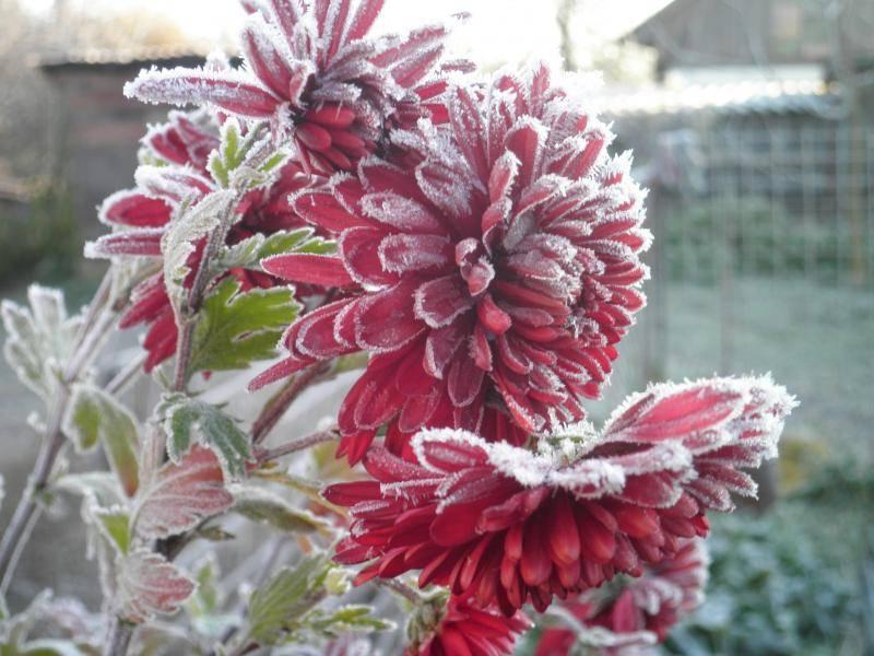 Хризантема шаровидная: зимовка в открытом грунте, как сохранить зимой и укрыть?