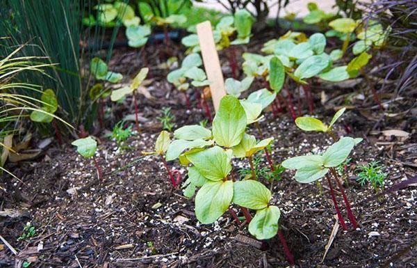 Клещевина: выращивание из семян, посадка и уход в открытом грунте, размножение и сорта + фото
