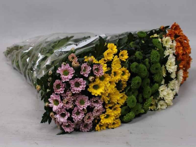 Кустовые хризантемы: характеристика основных сортов саб, зелёные цветы, особенности их выращивания