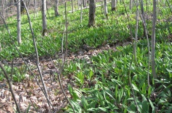 Черемша - выращивание и уход. как вырастить черемшу на даче