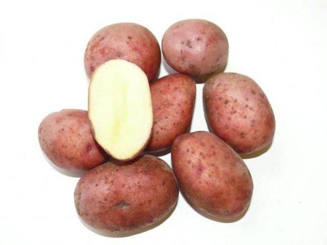 Картофель кемеровчанин: характеристика, правила посадки и ухода